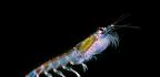 Olej z krillu je účinnější než rybí tuk